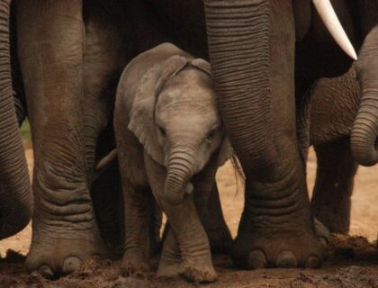schotia_safarisprivate_game_reserve-elephant-baby-700